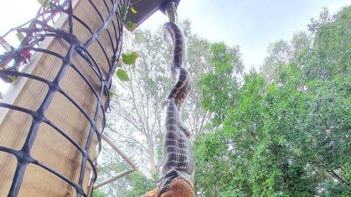 Ular Piton Raksasa Tiba-tiba Bergelantungan di Atap Depan  Rumah, Sedang Menelan Hewan Ini Utuh