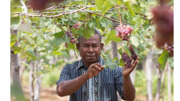 Warga Nagekeo Budidaya Anggur Organik, Berikut Liputannya!