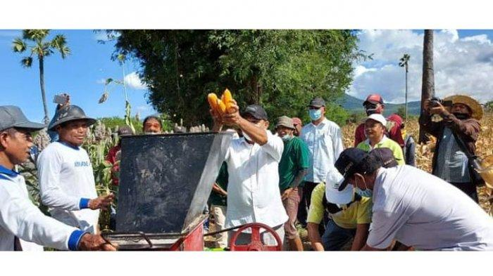 Bupati Flotim, Antonius Gege Hadjon saat melakukan panen raya jagung di desa Lewoingu, kecamatan Titehena