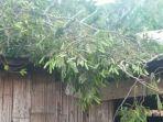angin-kencang-rumah-janda-di-meler-manggarai-tertindih-pohon-tumbang.jpg