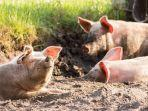 babi-terkena-penyakit.jpg