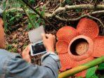bunga-rafflesia-arnoldii-mekar-di-hutan-lindung-bukit_20170516_101851.jpg