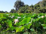 destinasi-danau-rana-tonjong-di-manggarai-timur-wisatawan-senang-lihat-teratai-berwarna-pink.jpg