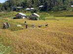 dukung-program-kostratani-penyuluh-dan-petani-manggarai-timur-amankan-stok-pangan.jpg