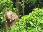 gajah-liar-di-aceh.jpg