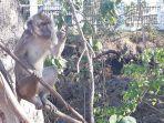 gua-monyet-kelapa-lima.jpg