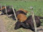 kambing-yang-mati-karena-penyakit.jpg