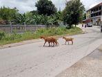 kambing-yang-melintas-dan-mengganggu-pengendara-di-jalan-perintis-kemerdekaan_20180226_144732.jpg
