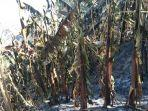 kebakaran-lahan-di-pulau-palue-2-pondok-dan-tanaman-pertanian-tidak-bisa-diselamatkan.jpg