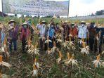 lapas-atambua-panen-raya-jagung-hibrida-10-hektare-hasil-program-wbp.jpg