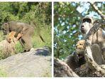 monyet-nekat-culik-anak-singa-kawanan-resah-begini-nasib-tragis-korban-1.jpg