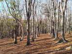 nampak-keindahan-guguran-dedaunan-mahoni-di-hutan-mahoni.jpg