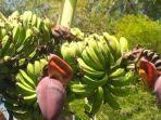 pisang-jambi.jpg