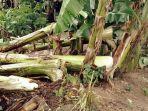 pohon-pisang-tumbang_20180307_213548.jpg