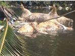ratusan-bangkai-babi-mengapung-di-sungai.jpg