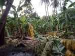 ratusan-pohon-pisang-di-desa-waesae-tumbang-diterpa-angin.jpg