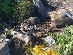 sudah-638-ekor-babi-dikuburkan-di-pekuburan-babi-massal-akibat-asf.jpg