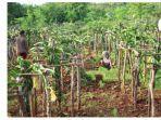 tanaman-holtikultura-yang-dikembangkan-petani-dampingan.jpg