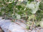 tanaman-melon-di-labuan-bajo.jpg
