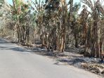 tanaman-perkebunan-pisang-di-mudakaputu-kecamatan-ilemandiri-flotim-terbakar-api_20181020_184847.jpg