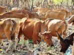 ternak-sapi-masyarakat-kabupaten-belu.jpg