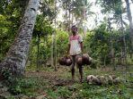 warga-pautola-saat-mengumpulkan-kelapa-di-desa-pautola.jpg