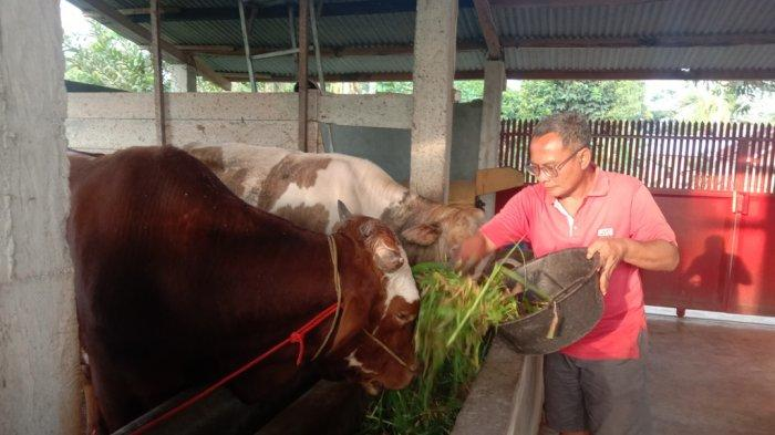 Anggota DPRD Pringsewu Suryo Cahyono Isi Waktu Luang dengan Beternak Sapi