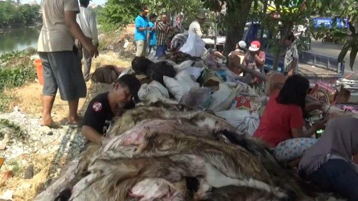 Larangan Menjual Kulit Hewan Kurban dan Cara Menghilangkan Bau Prengus Daging Kambing