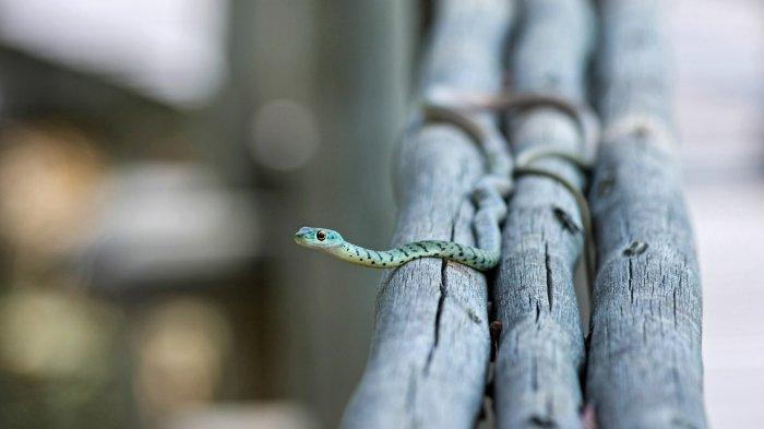 Ilustrasi. Tafsir mimpi dikejar ular.