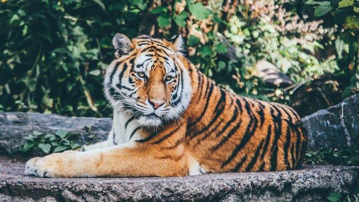 Arti Mimpi Dikejar Harimau, Bersiapkan Jodohmu Sudah Dekat
