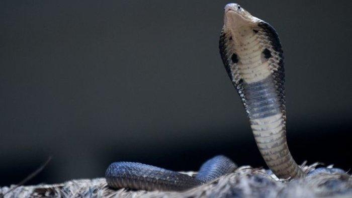 Ilustrasi ular. Simak, arti mimpi digigit ular.