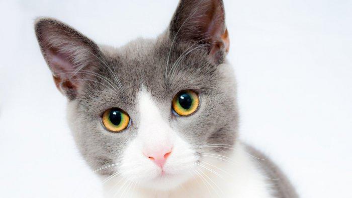 Ilustrasi kucing. Simak, tafsir mimpi memelihara kucing.