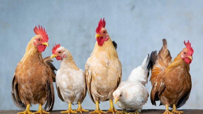Arti Mimpi Tentang Ayam, Ayam Mati Menandakan Keberuntungan