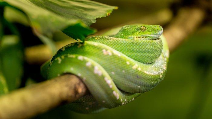 Ilustrasi ular. Simak arti mimpi ketemu ular, yang menuntut kita harus waspada.