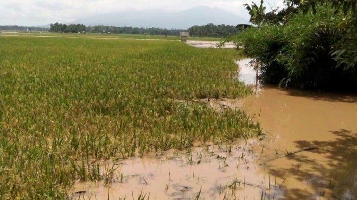 Sungai Way Pisang Meluap, Puluhan Hektar Sawah Siap Panen di Palas Lampung Selatan Terendam Banjir