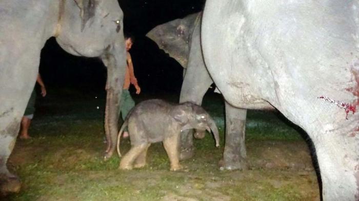 bayi-gajah-betina_20161014_163059.jpg