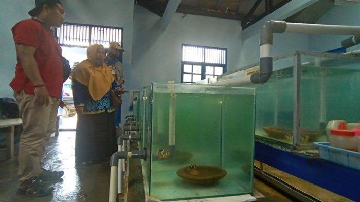 BBPBL Lampung Dorong Budidaya Ikan Nemo, Tekan Penangkapan Liar di Alam