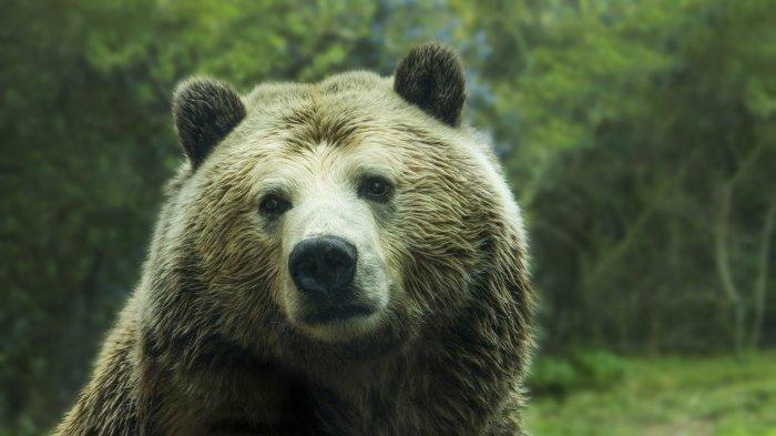 Beruang Masuk Pemukiman di Lampung Barat, 15 Ekor Kambing Milik Warga Dimangsa