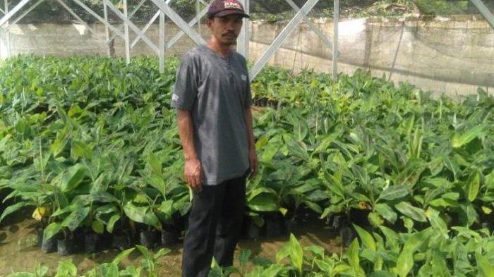 BUM Pekon Gedung Surian Lampung Barat Jual Bibit Pisang Kavendis Cuma Rp 4 Ribu per Polibag