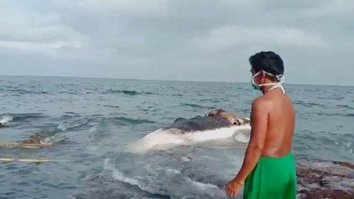 BREAKING NEWS - Warga Pulau Sebesi Temukan Bangkai Ikan Paus Sepanjang 5 Meter