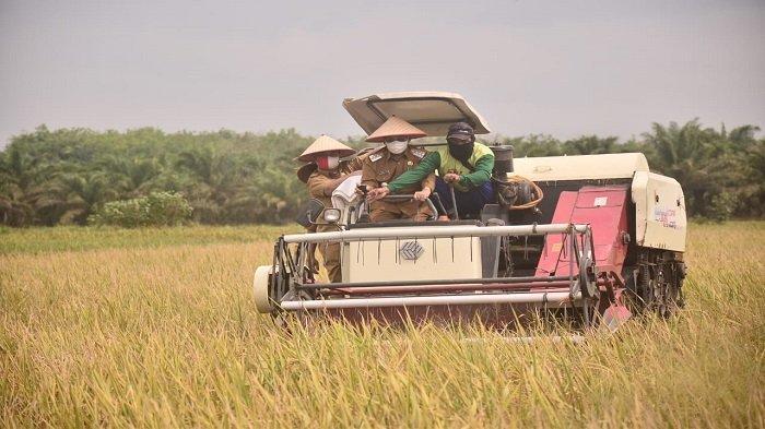 Bupati Mesuji Saply TH Panen Raya Padi Musim Gadu di Tanjung Mas Rejo