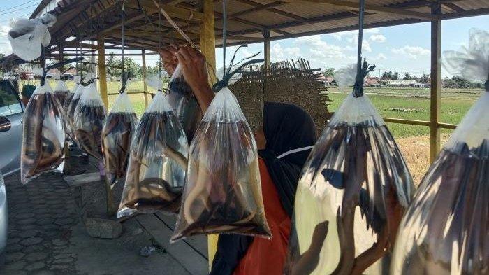 Dinas Perikanan Pringsewu Pelajari Spesifik Alam Belut di Tulangbawang