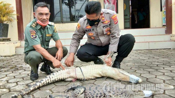 Warga Lampung Selatan Serahkan 2 Buaya Muara Anakan ke BKSDA