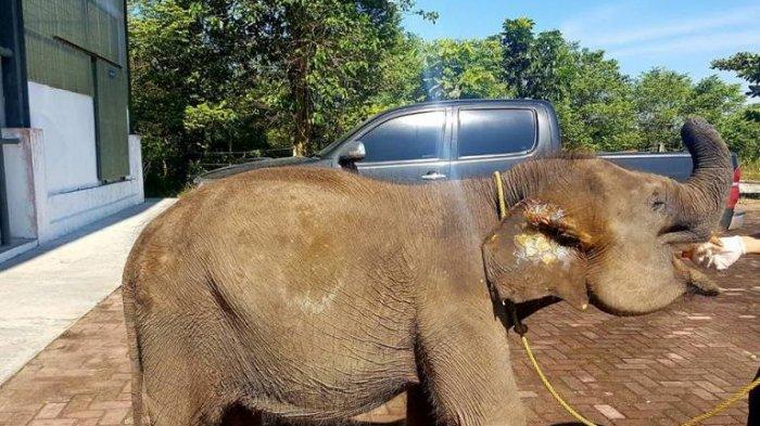 Mengenaskan Gajah Erin Belalainya Terpotong. Pengunjung Sering Beri Uang, Bobotnya 470 Kg