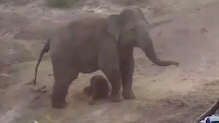 Gajah Injak Seorang Pria Sampai Mati demi Lindungi Anaknya, Warga Lari Kocar-kacir