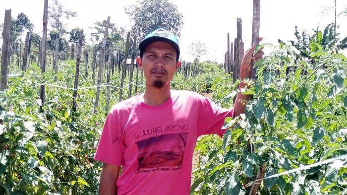 Harga Cabai Rawit di Lampung Barat Anjlok, dari Rp 60 Ribu Jadi Rp 15 Ribu