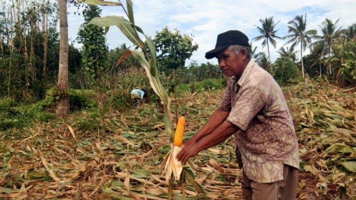 Harga Jagung di Tingkat Petani di Lampung Selatan Relatif Stabil, Rp 2.500 per Kg