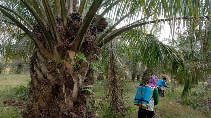 Harga Sawit di Mesuji Lampung Capai Rekor, Tembus Rp 2.500 per Kg