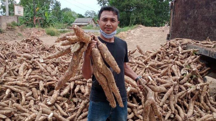 Harga Singkong di Mesuji Lampung Naik, Karet Alami Penurunan