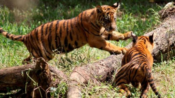 Anjing Anjing Dimangsa Harimau Bikin Panik Warga Tribun Lampung
